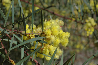 APII jpeg image of Acacia iteaphylla  © contact APII