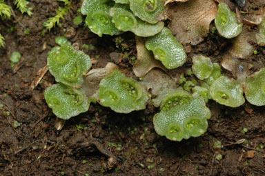 APII jpeg image of Lunularia cruciata  © contact APII