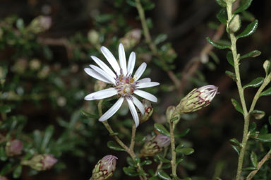 APII jpeg image of Olearia iodochroa  © contact APII