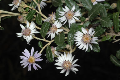 APII jpeg image of Olearia montana  © contact APII