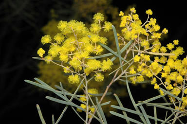 APII jpeg image of Acacia boormanii  © contact APII