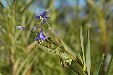 APII jpeg image of Stypandra glauca  © contact APII