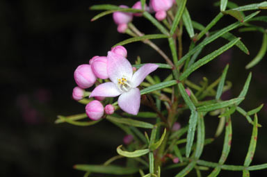 APII jpeg image of Boronia thujona  © contact APII