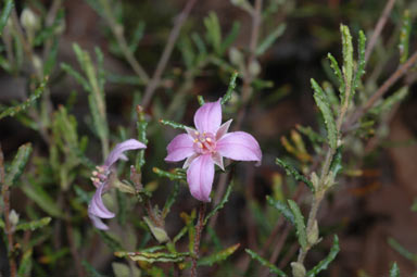 APII jpeg image of Boronia repandra  © contact APII