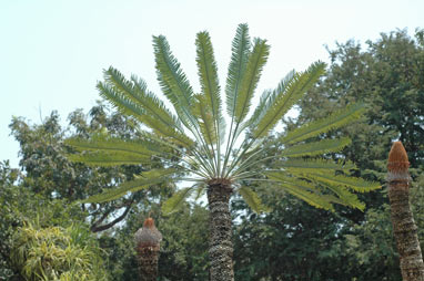 APII jpeg image of Cycas conferta  © contact APII