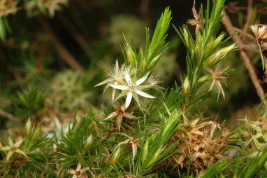 APII jpeg image of Calytrix brownii  © contact APII