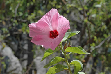 APII jpeg image of Hibiscus fallax  © contact APII