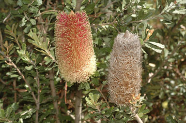 APII jpeg image of Banksia praemorsa  © contact APII