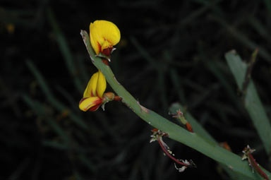 APII jpeg image of Bossiaea grayi  © contact APII