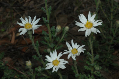 APII jpeg image of Olearia asterotricha  © contact APII