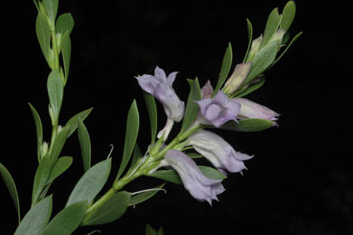 APII jpeg image of Eremophila christopheri  © contact APII