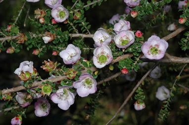 APII jpeg image of Leptospermum scoparium 'Lavender Queen'  © contact APII