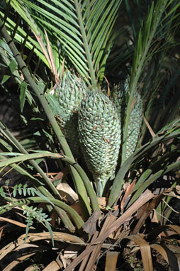 APII jpeg image of Macrozamia communis  © contact APII