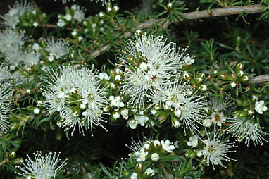 APII jpeg image of Kunzea ambigua  © contact APII