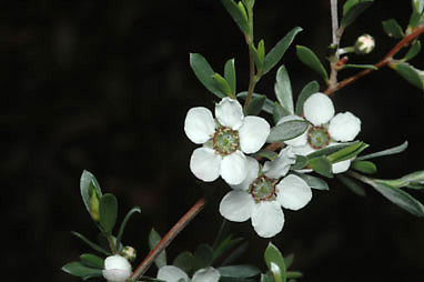 APII jpeg image of Leptospermum jingera  © contact APII