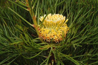 APII jpeg image of Isopogon anethifolius  © contact APII