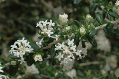 APII jpeg image of Pimelea nivea  © contact APII