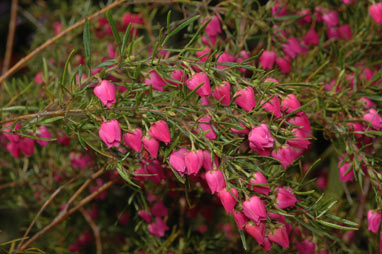 APII jpeg image of Boronia 'Carousel'  © contact APII