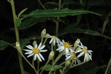 APII jpeg image of Olearia canescens  © contact APII
