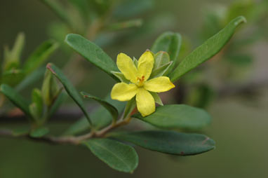APII jpeg image of Hibbertia hexandra  © contact APII