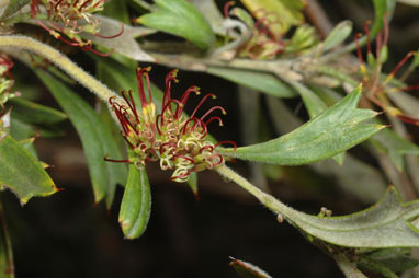 APII jpeg image of Grevillea manglesioides subsp. manglesioides  © contact APII