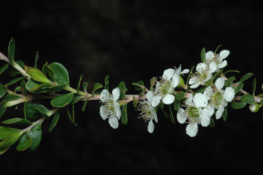 APII jpeg image of Leptospermum obovatum  © contact APII