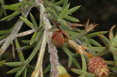 APII jpeg image of Grevillea rigida subsp. rigida  © contact APII