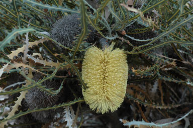 APII jpeg image of Banksia elderiana  © contact APII