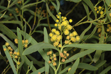 APII jpeg image of Acacia difformis  © contact APII