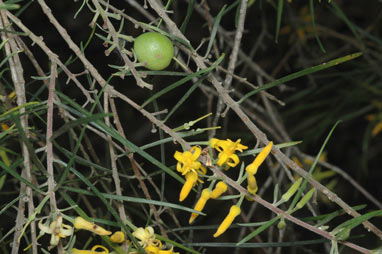 APII jpeg image of Persoonia linearis  © contact APII