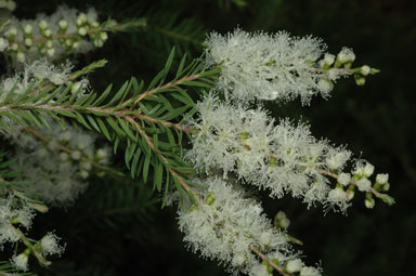 APII jpeg image of Melaleuca decora  © contact APII