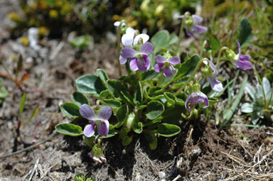 APII jpeg image of Viola bettonicifolia  © contact APII