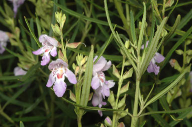 APII jpeg image of Prostanthera  © contact APII