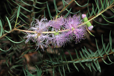 APII jpeg image of Melaleuca radula  © contact APII
