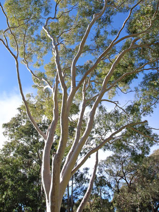 APII jpeg image of Corymbia citriodora  © contact APII