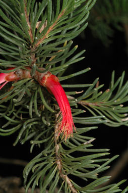 APII jpeg image of Calothamnus macrocarpus  © contact APII
