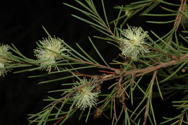 APII jpeg image of Melaleuca nodosa  © contact APII