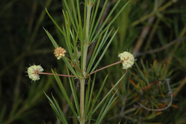 APII jpeg image of Acacia cedroides  © contact APII