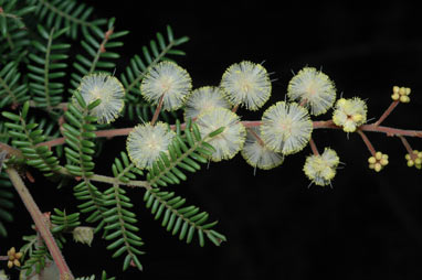 APII jpeg image of Acacia jonesii  © contact APII