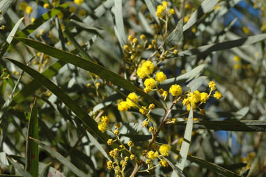APII jpeg image of Acacia caesiella  © contact APII