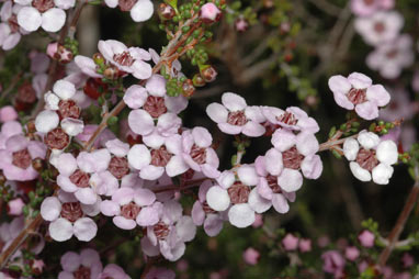 APII jpeg image of Baeckea crassifolia  © contact APII