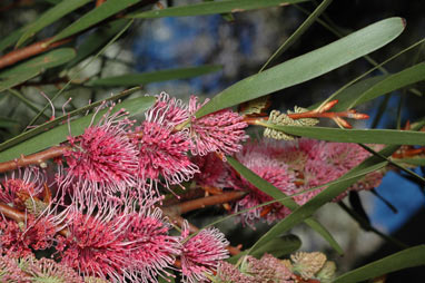 APII jpeg image of Hakea 'Winter Burgundy'  © contact APII
