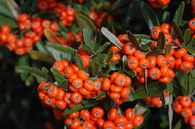 APII jpeg image of Pyracantha angustifolia  © contact APII