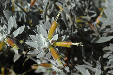 APII jpeg image of Eremophila 'Kalbarri Carpet'  © contact APII