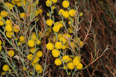 APII jpeg image of Acacia continua  © contact APII