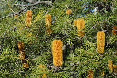 APII jpeg image of Banksia spinulosa var. collina  © contact APII