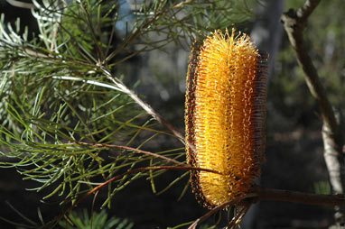APII jpeg image of Banksia spinulosa var. spinulosa  © contact APII