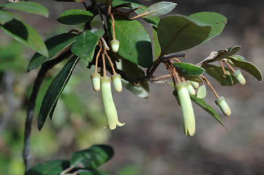 APII jpeg image of Correa lawrenceana var. glandulifera  © contact APII