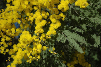 APII jpeg image of Acacia  © contact APII