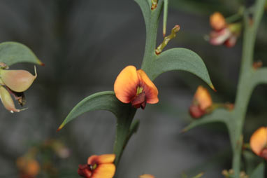 APII jpeg image of Daviesia dilatata  © contact APII